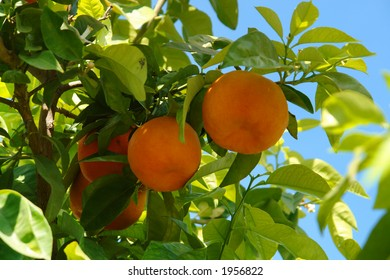 Orange tree with fruits and flowers