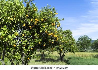 Orange tree in the green field