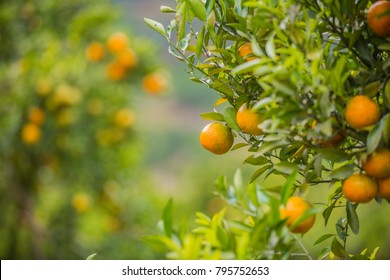 Orange tree in the orange grove, selective focus