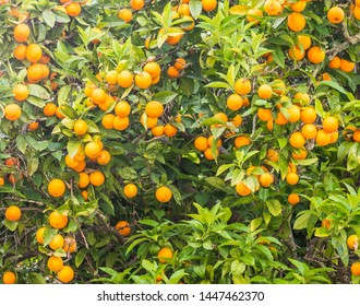 Orange tree heavy with fruits in central Portugal.