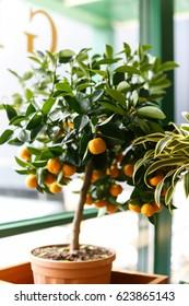 Orange tree in the interior