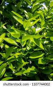 Orange tree leaves. Exotic plants, green, patterned background