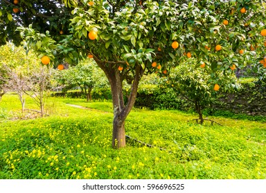 Orange tree with lots of fruit in Alentejo region, Portugal, in the beginning of March.