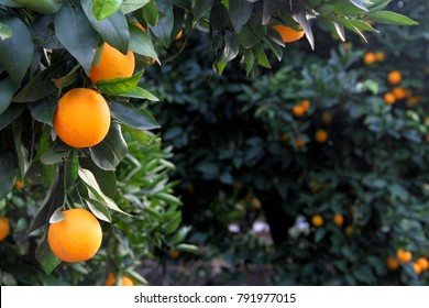 Orange tree with oranges in a grove