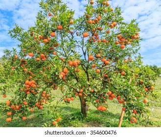 Orange - Orange tree Orange Park