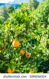 Orange tree plantation with both ripe fruit and new flowers