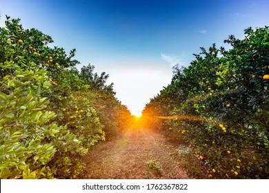 Orange tree plantation in a sunny day