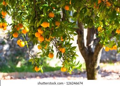 Orange tree with ripe fruits in sunlight. Horizontal shot