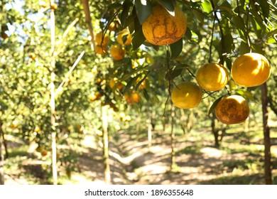 Orange tree with ripe fruits in sunlight
