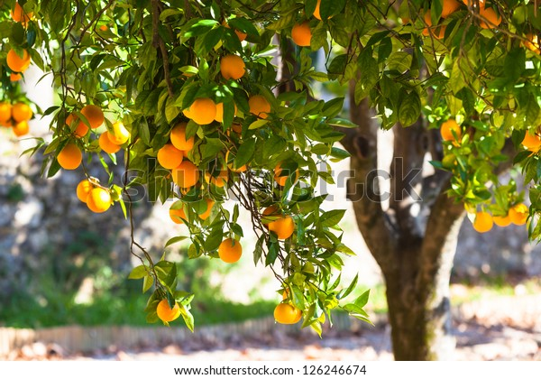 Orange tree with ripe fruits in sunlight. Horizontal shot