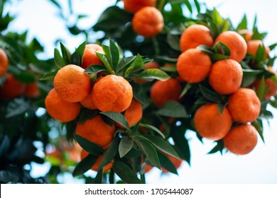 Orange tree with ripe fruits. Tangerine. Branch of fresh ripe oranges with lush leaves in sun beams. Satsuma tree picture. Citrus