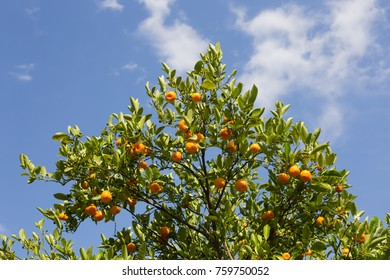 orange tree with ripe oranges, photographed against the blue cloudy sky