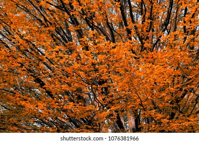 Orange tree in the spring