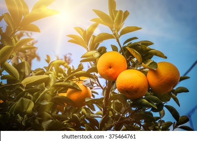 Orange tree sun light