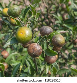 orange tree that affected a infection and become black and brown, some of them die  eventually,