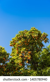 Orange trees with fruits in Italy