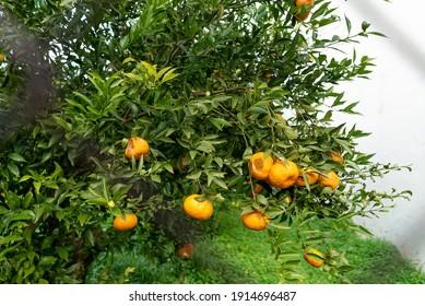 Orange trees full of fruit