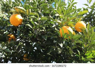 Orange trees in Kyoto Japan in winter