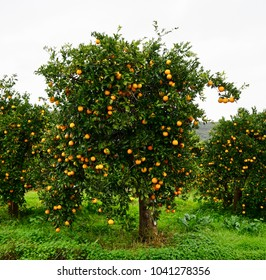 Orange Trees on Crete loaded with orange oranges soon to be harvested for delicious golden juice!!
