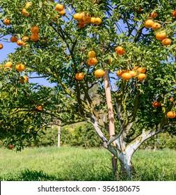 Orange trees in orange orchard. Orange groves, selective focus