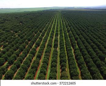 orange trees plantation aerial view in Brazil.