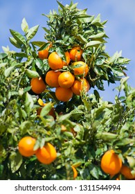 Orange trees with ripe delicious fruit on the trees-  food crop, permaculture.