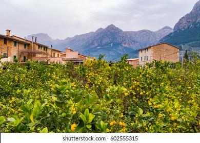 Orange Trees, Soller - Mallorca