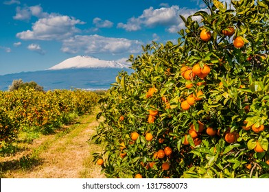 Orange trees submontane the snow-covered vulcano Etna; Sicily