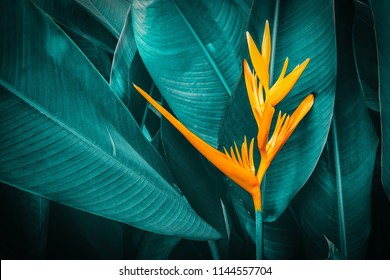 orange tropical exotic flowers blooming on leaf in rainforest, dark blue toned foliage, nature background