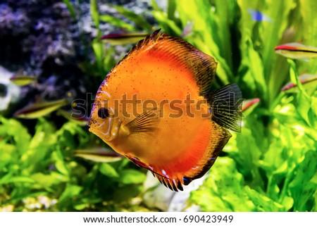 Orange Tropical Fish Amazon River Symphysodon Stock Photo Edit Now