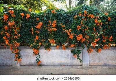 Orange trumpet, Flame flower, Fire-cracker vine on the wall