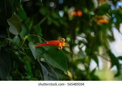 Orange trumpet, Flame flower, Fire-cracker vine leaf on a tree.