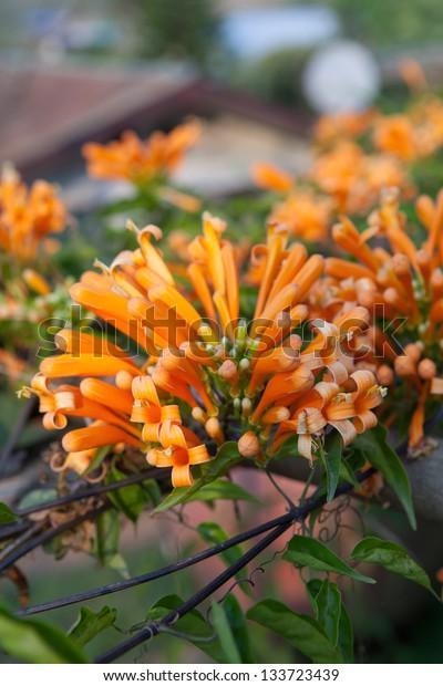 Orange trumpet, Flame flower, Fire-cracker vine