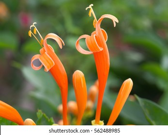 Orange Trumpet Flowers, Pointing to The Sky