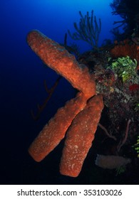 Orange tube sponge on a Caribbean wall
