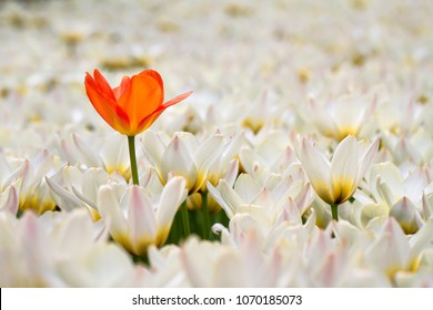 Orange tulip among white ones -- the odd one out