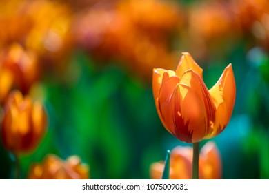 Orange tulip with blur background