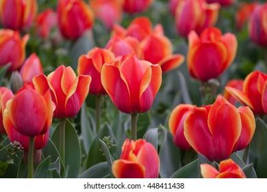 Orange tulip flower in field