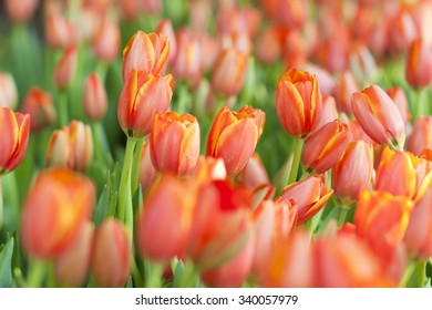 Orange Tulip in a garden