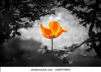 Orange tulip soul in black white for peace heal hope. The flower is symbol for power of life and mind strength beyond grief death and sorrows. Also symbolizes healing of stress or burnout