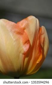 Orange tulip in the spring sunshine