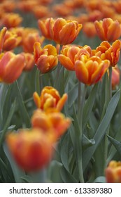 Orange Tulip with Water Drops