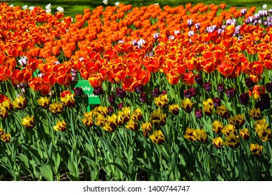 Orange tulips flowers in spring park blooming scene. Spring blooming tulip flowers. Tulip festival in spring Saint Petersburg, Russia. Spring blooming tulip flowers