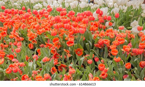 Orange tulips in the garden.