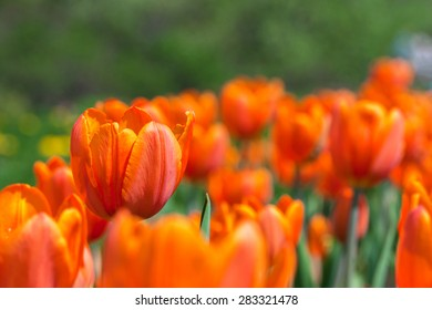 orange tulips in the garden. Trees in the background. solar flare. focus on the foreground, blurred background . flowers close up