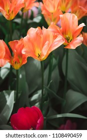 Orange Tulips with Green Stems, Amsterdam, Holland, The Netherlands