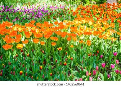 Orange tulips spring blooming scene. Spring blooming orange tulip flowers. Tulip festival in Saint Petersburg, Russia. Springtime tulip flowers bloom