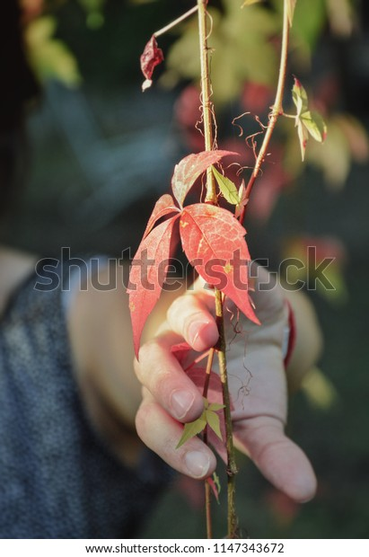 Orange vine hangs while woman's hand touches it