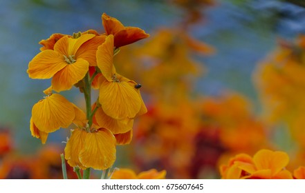 Orange wallflower with forget-me-not background