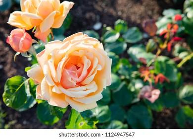 orange westerland rose blooming in summer